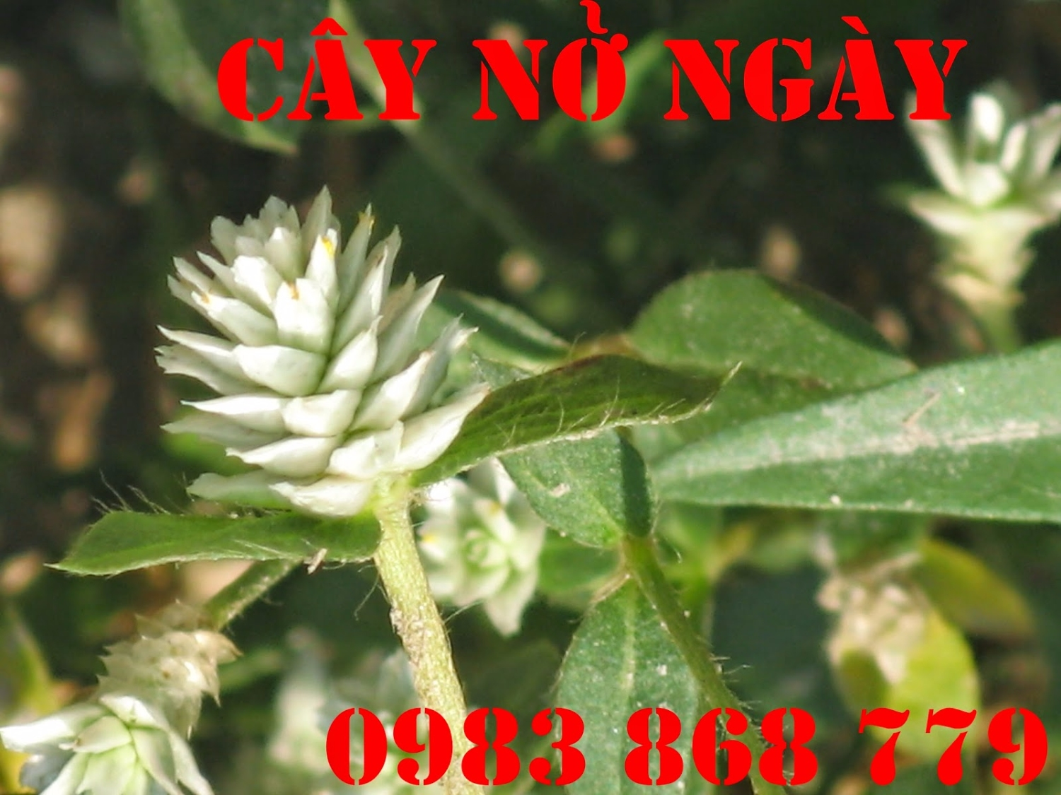 cay no ngay dat (25)